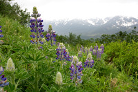 Wildflowers, Juneau, Alaska