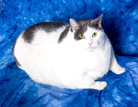 Buddha was just rescued from Metro Animal Care and Control. He weighs in at a whopping 31.4 pounds and is 6 years old. The Cat Shoppe Rescue is going to be working hard to help him lose some weight, g
