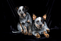 Blue Heeler Puppies