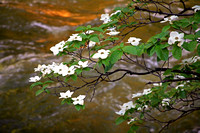 Pacific Dogwood Over the Merced River, Yosemite NP, CA